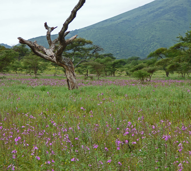 In low spots, large blooms of pink <i>Cycnium cameronianum</i> covered acres. Photo by participant Juergen Schrenk.