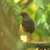 From quetzal in the canopy down to Streak-chested Antpitta on the forest floor. This bird obligingly fed alongside a Wood Thrush at Carara, finally hopping onto this branch for the photo ops! Photo by participant Dave Czaplak.