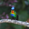 In Costa Rica, no matter what your elevation, hummingbirds seem to be zipping around everywhere. Fiery-throated Hummingbird, found from Honduras to Panama, usually stays in mountain forests above 5000 feet elevation in Costa Rica and often forages up to the treeline. This photo captures all of its rainbow colors. Photo by participant Dave Czaplak.