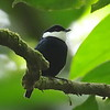 """White-ruffed Manakin tends to hang out in the mid-story rather than the canopy, making it easy to see (though much easier when the bird calls, as this one did at Braulio Carrillo National Park!). As in other manakins, males display in groups at """"leks,"""" and for this species, leks are normally sited at a bare, horizontal part of a fallen tree. Males like this one give a loud, high  """"prreeet"""" call, land on the log, give a wing-snap, then a cheeky """"chee waa"""" call. Photo by participant Dave Czaplak."""