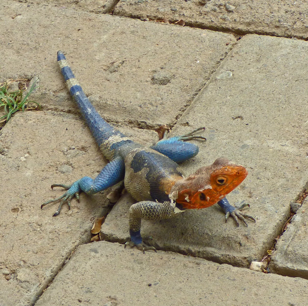 Red-headed Rock Agama (<i>Agama agama</i>) was one of several large lizard species that livened up field time (and sometimes meal time!). Photo by participant Juergen Schrenk.