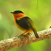 """By contrast, male Orange-collared Manakins are birds of the understory, and they display above """"courts"""" in the forest, little circular clearings ringed by saplings. The males leap from sapling to sapling in a triangular pattern, snapping the wing as they land and then """"looking back"""" over the back to show off the rich orange collar. This species is limited to humid forest on the Pacific slope of Costa Rica and western Panama. This one was on a lek with two others at Carara National Park. Photo by participant Dave Czaplak."""
