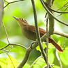 Once combined with Buff-throated Foliage-gleaner, Chiriqui Foliage-gleaner is now recognized as a full species endemic to the Pacific slope of Costa Rica and western Panama. This bird was a prize in Carara. Photo by participant Dave Czaplak.