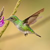 White-tailed Emerald is a hummingbird restricted to the Pacific foothills of Costa Rica and western Panama. Fortunately, females like this one also have lots of white in the tail, making them easy to identify. Photo by participant Dave Czaplak.