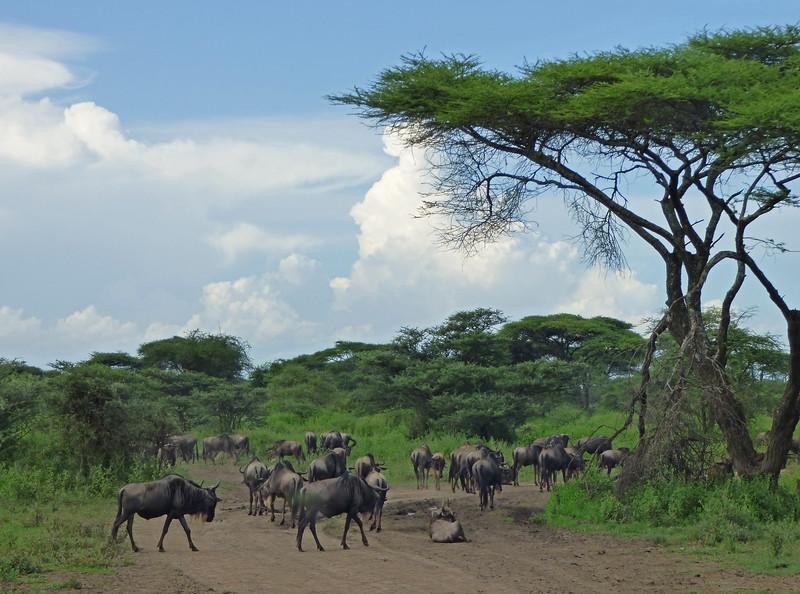 Across the Serengeti, herds of these Blue or Brindled Wildebeest (<i>Connochaetes taurinus albojubatus</i>) seemed to be everywhere...