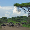 Across the Serengeti, herds of these Blue or Brindled Wildebeest (<i>Connochaetes taurinus albojubatus</i>) seemed to be everywhere...
