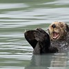 It is hard not to look at this image of a Sea Otter by Linnet Tse and not think it is having fun! The heaviest members of the weasel family, Sea Otters are usually found within a kilometer of shore, typically in waters protected from strong ocean winds.