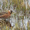"""Another truly gorgeous bird is this Red Phalarope captured by participant Linnet Tse. Phalaropes are one of few families of birds where the females sport the brighter plumage. Still, this """"dull"""" male has plenty of soft, subtle beauty."""