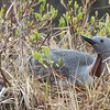 Many birders are familiar with Red-throated Loons, but their namesake breeding plumage is seldom seen on wintering birds—which is how most of us encounter them. Here we see this bird atop its nest at a small arctic lake.