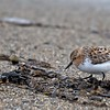 As a vagrant throughout most of North America, Red-necked Stints are a bit more reliably found in Alaska, where they sporadically occur in the western and northern parts of the state.