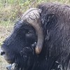 We're not certain who provided this image (though we thank you!), but we are sure of what it is: a Musk Ox. This herd animal is well adapted to the frigid climate found where it lives. The long, shaggy coat keeps these animals warm through the even longer Arctic winter. The males emit a strong, musky odor during breeding season, from which the species name derives.