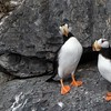 Horned Puffins on rocks might be the most quintessential image from a birding trek to the Kenai Fjords area, and this image by Linnet doesn't disappoint.