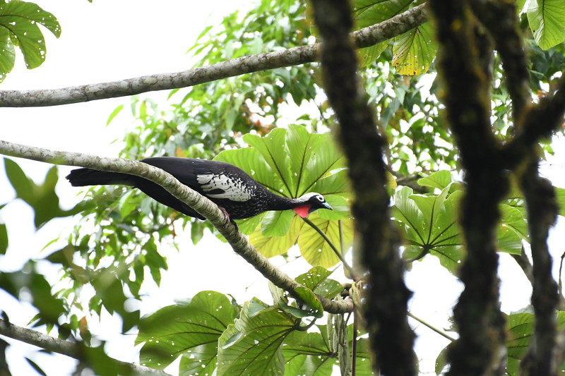 The fruit-loving Black-fronted Piping-Guan is now listed as Endangered, a result of hunting and habitat destruction. Intervales State Park is a still a good place to see them, as they're not hunted here, but a sighting is never a sure bet. These magnificent cracids require mature lowland forest with palmito and other food trees. Photo by participant Neil Wingert.