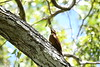 A species typical of chaco woodlands, the mighty Great Rufous Woodcreeper is mostly associated with birding in Bolivia, Paraguay, and northern Argentina, but Brazil has some in the extreme southwest, as here at Pousada Rio Claro in the Pantanal. Photo by participant Neil Wingert.