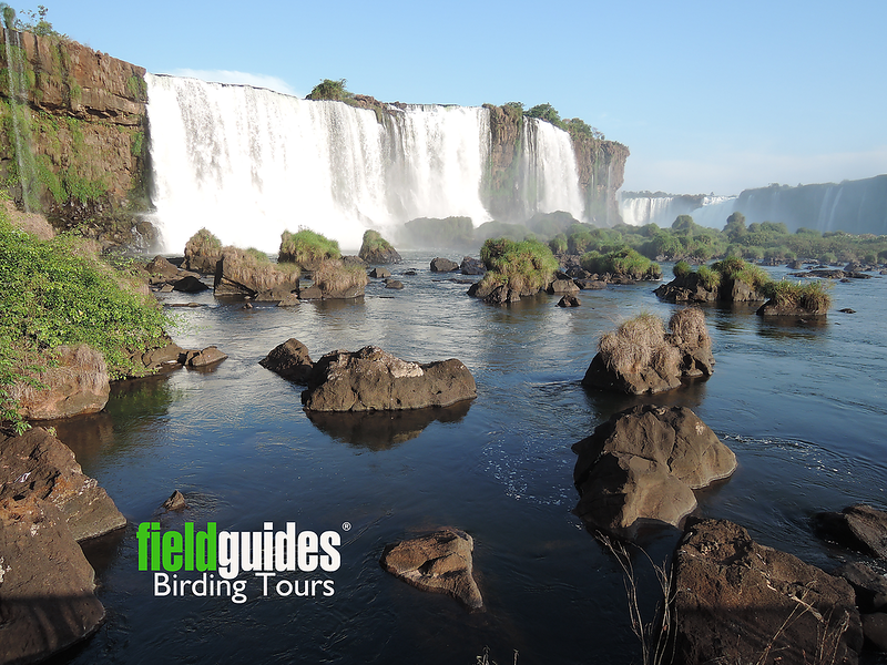 """Welcome to the June 2020 Recent Photos Gallery! We thought we'd start off with a bang, with a view across to the sublime Iguazu Falls, on the border of Brazil and Argentina, as seen on our recent <a href=""""https://fieldguides.com/bird-tours/brazil/"""" target=""""_blank""""><span class=""""slideshow_tourlink3"""">BRAZIL NUTSHELL: INTERVALES, IGUAZU FALLS &amp; THE PANTANAL</span></a> tour with guide Marcelo Padua. Join us! Photo by participant Dominic Sherony."""