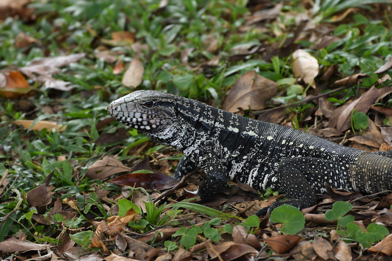 Argentine Black-and-white Tegu! It can be a bit startling to have one of these huge monitor-like lizards scamper off nearby, but it's quite a beautiful animal in its markings. Adults may reach three feet in length. Photo by participant Neil Wingert.