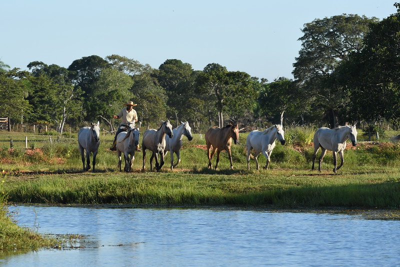 In its essence, life in the Pantanal today is very much as it has been for the past several centuries, with ranching still the main occupation of the residents, and it is fascinating to see how birdlife has adapted to the changed landscape. Photo by participant Neil Wingert.