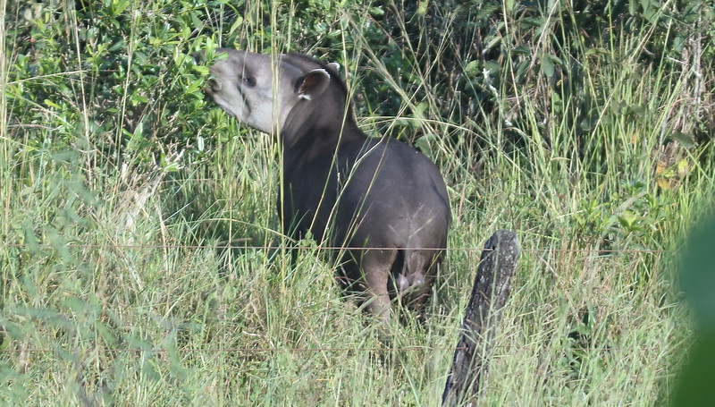 The largest native terrestrial mammal in its range, Brazilian Tapir is equally at home in wetlands and savanna uplands, but it is usually found near water. These herbivores eat leaves, buds, shoots, fruit, grasses, and aquatic plants. This male showed well for the group in the Pantanal. Photo by participant Dominic Sherony.