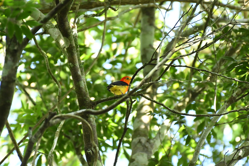 Band-tailed Manakin is mostly a species of southern Amazonia, but its range extends southward to include riparian and gallery woodlands into northern Argentina. The incredible intensity of its plumage tones might distract one from the namesake narrow white band at the base of the tail. On occasion, Band-tailed may follow advancing army ants, but its diet consists mostly of fruit. Photo by participant Neil Wingert.