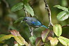 Another fruit lover, Azure-shouldered Tanager is endemic to the Atlantic Forest, where it is believed to be declining, unlike its relative, Sayaca Tanager, a habitat generalist. Azure-shouldered, perhaps surprisingly because of its similarity to plain-voiced congeners, has a very distinctive song that is easily learned. Photo by participant Neil Wingert.