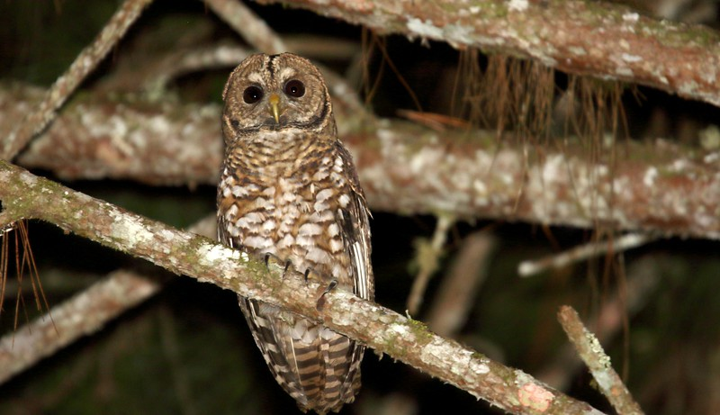 Rusty-barred Owl is an Atlantic Forest endemic that is now, owing to habitat loss, listed as Near Threatened. Marcelo and crew were delighted to see this one just outside Intervales State Park. Photo by participant Dominic Sherony.