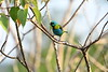But not every creature on this tour is mega-fauna! Green-headed Tanager is an Atlantic Forest endemic that causes cameras to go into constant motion, and each image seems to capture a different concatenation of colors. Photo by participant Neil Wingert.