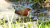Red-and-white Crake has a trilling call (or song, given in duet) that sounds mighty similar to other <i>Laterallus</i>, including the broadly sympatric Rufous-sided Crake. But wow, those red legs, zebra-striped flanks, and rufous upperparts contrasting with white underparts leave no doubt as to which one this cooperative bird at Intervales State Park was! Photo by participant Dominic Sherony.