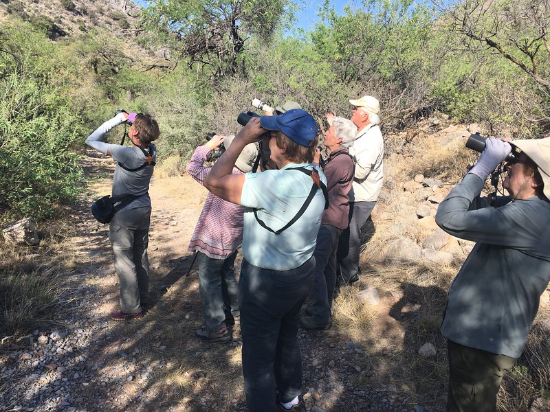 Arizona is full of specialties for birders, and Five-striped Sparrow is one of the most localized. Here's one of our groups finding their quarry in California Gulch, right near the border with Mexico.