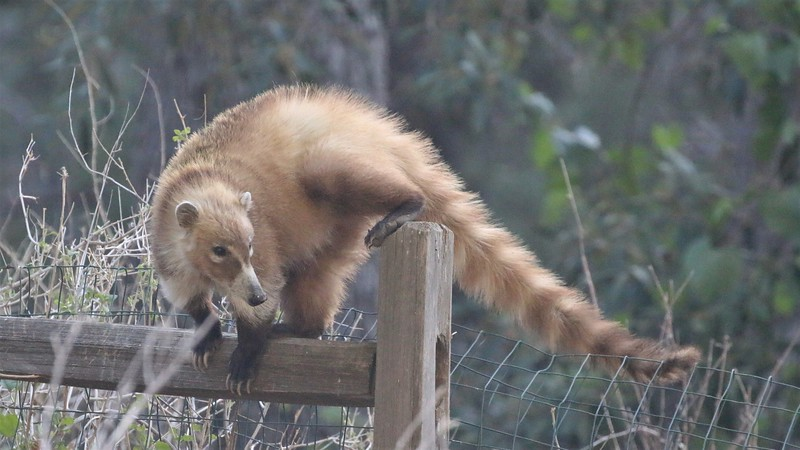 We encountered this White-nosed Coati at Madera Canyon. Coatis are active in daytime, unlike their nocturnal cousins, Raccoons. There are four species of Coati in the Americas, with the White-nosed familiar across most of Central America. Photo by guide Dave Stejskal.