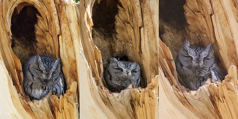 Triplets? Or triple vision? Neither, but we do love a stakeout! This Western Screech-Owl was a reliable sighting near the San Pedro River for our various Arizona tours, as evidenced here in pics from different tours and days by, from left,  participants Pete Fisher and Len Sander and guide Dave Stejskal.