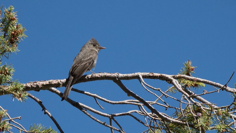 Participant Len Sander captured this Greater Pewee in Carr Canyon near Sierra Vista on one of our recent tours.