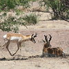Pronghorn sightings on our Arizona tours are always a delight. It's neither an antelope nor a deer, and it has, believe or not, giraffes and their kin as its closest taxonomic relatives! Photo by guide Dave Stejskal.