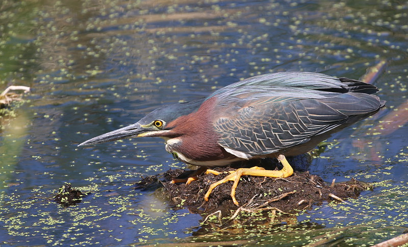 We tend to think of Arizona as arid land of desert and sky islands, but scattered wetlands are a magnet for all sorts of waterbirds, such as this fine Green Heron photographed by guide Dave Stejskal.