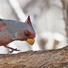 """Often when birders first see a Pyrrhuloxia, their first reaction is that the southwest has some strange looking cardinals! Indeed, the so-called """"Desert Cardinal"""" is the """"other"""" of the two cardinal species in North America. Photo by participant Len Sander."""