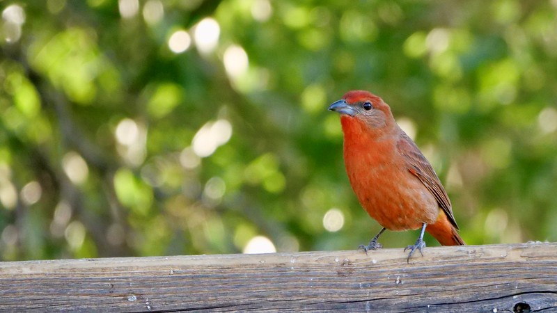 The gray cheek and darker bill caught our eye immediately to help distinguish this Hepatic Tanager from its Summer cousin. Photo by participant Jan Wood.