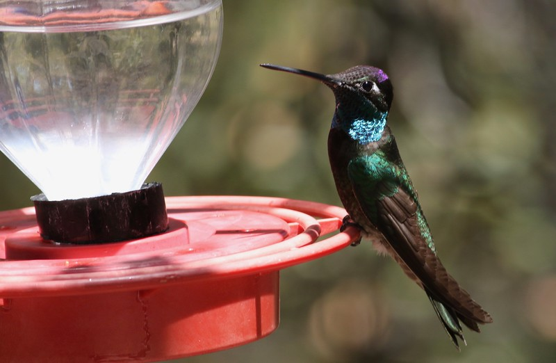 In the dry landscapes of Arizona, feeder stations are major magnets for birders and key to getting good looks at specialties such as this lovely Rivoli's Hummingbird, photographed by participant Pete Fisher.