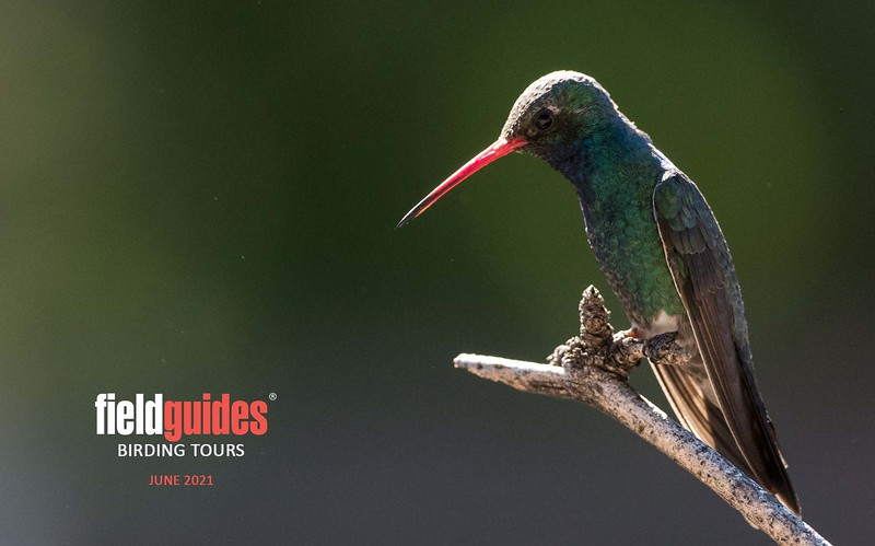 """Welcome to the Recent Tour Photos gallery for June of 2021! We are eager to share images with you from Arizona, Texas, and Florida, three destinations among our first slate of tours in the post-COVID era. We'll kick things off with this beautiful Broad-billed Hummingbird captured by participant Len Sander at Madeira Canyon, a legendary stop along our <a target=""""_blank"""" href=""""https://fieldguides.com/bird-tours/arizona"""" style=""""color: #e35a38""""><b>ARIZONA: BIRDING THE BORDER</b></a> tour."""