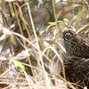 Another southwestern specialty is Montezuma Quail. Squat and secretive, these quail move slowly along the ground searching for food, which consists of mainly tubers, acorns, and insects. Participant Jan Wood put this sighting in an evocative frame.