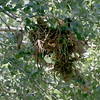 This large, messy, domed nest belongs to a pair of Rose-throated Becards. Becards are scarce and local in Arizona, and this nest was found at Tubac. Photo by guide Dave Stejskal.