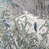 .... such as raptors, thrashers, sparrows---and this busy pair of Ladder-backed Woodpeckers foraging in cholla ...