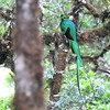 "We would be ever-so-lucky birders to see a quetzal in New Mexico, so yes, we have moved, to a private <a href=""https://fieldguides.com/bird-tours/costa-rica/"" target=""_blank""><span class=""slideshow_tourlink3"">CLASSIC COSTA RICA</span></a> tour guided by Jesse Fagan and Doug Hitchcox of Maine Audubon. This lovely male Resplendent Quetzal at Savegre Lodge, one of seven, was photographed by Jesse."