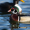 Most male waterfowl we see in winter are in fresh plumage, such as this lovely male Wood Duck ...