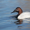 ... and this male Canvasback, named for the male's white (with fine grayish vermiculation) back, which seemed to early English settlers to resemble canvas cloth ...