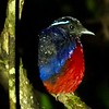 Rainforest Discovery Centre is also home to healthy populations of the beautiful Black-crowned Pitta, a species often easier to find on a night roost than during the day. (This one was actually in the Danum Valley, later in the tour.) Photo by participant Marshall Dahl.