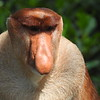 Among the many remarkable inhabitants of gallery forests here are Proboscis Monkeys, which specialize in eating leaves. The males' noses get quite large as they age, apparently serving primarily to impress mates and intimidate rivals but also to amplify their unusual vocalizations. Photo by participant Karen Olsen.