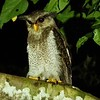 Practically from the dining room table, the group enjoyed this Barred Eagle-Owl one evening. Nothing compares to lodging right in the rainforest. Photo by participant Marshall Dahl.