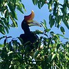 The Rainforest Discovery Centre can be a great place to see the imposing, improbable Rhinoceros Hornbill as well. Though it does not have the bizarre voice of the Helmeted Hornbill, its recurved bill casque makes it a marvel of the animal kingdom. Photo by participant Marshall Dahl.