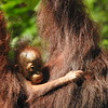 Have you been grousing lately about unruly hair? This baby Bornean Orangutan offers sympathy. Watching orangutans is one of the many larger-than-life highlights of the Borneo tour, and seeing them with newborns is spellbinding. Photo by participant Karen Olsen.