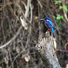 """Kingfishers abound along the Kinabatangan and its tributaries, up to ten species. Blue-eared Kingfisher can be a shy species, so getting a """"record shot"""" makes it a red-letter day. Photo by participant Marshall Dahl."""