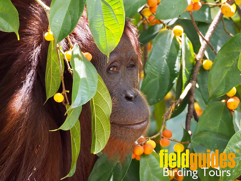 """The sly side-eye from this Bornean Orangutan bids a wizened welcome to our May 2020 Recent Photos Gallery! We'll start with guide Megan Edwards Crewe's most recent magical visit with a lively group of birders to the Malaysian state of Sabah on the island of <a href=""""https://fieldguides.com/bird-tours/borneo/"""" target=""""_blank""""><span class=""""slideshow_tourlink3"""">BORNEO</span></a>.  Photo by participant Marshall Dahl."""